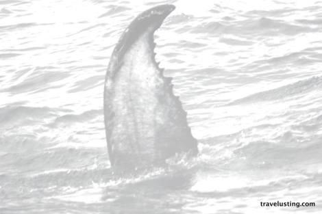 Whale off Newfoundland